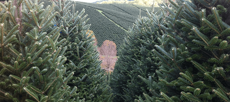 4ec7b7df486 Wholesale Christmas Trees - Christmas Tree Farm