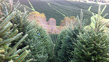 Fresh Christmas Trees Grower