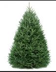Fraser Fir Live Christmas Tree