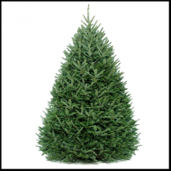 Fraser Fir Live Christmas Tree