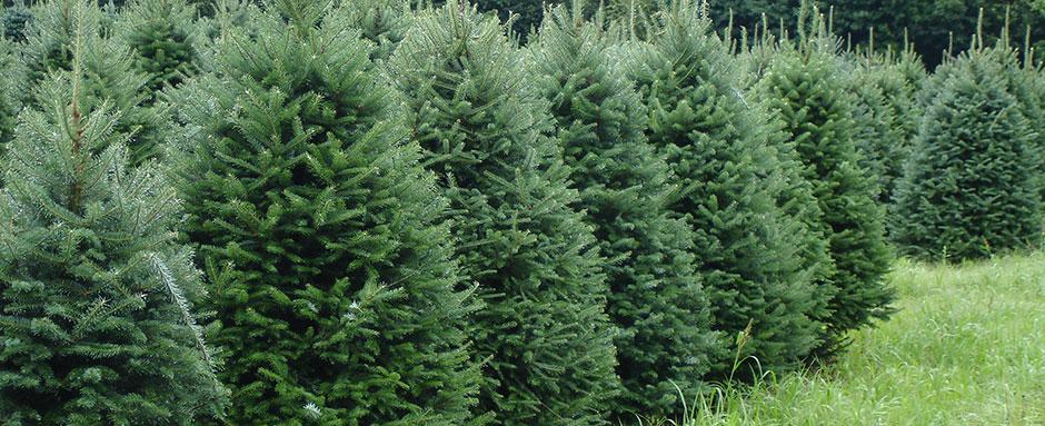 Balsam Fir - Christmas Tree Farm