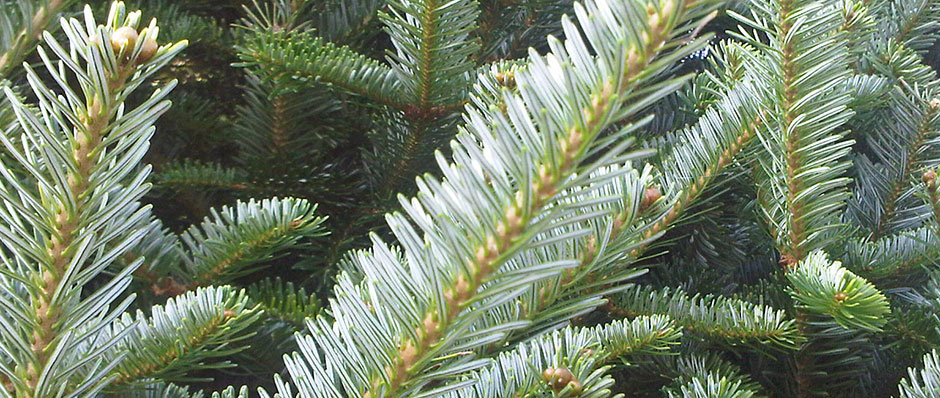 Eco Friendly Christmas Tree - Christmas Tree Farm