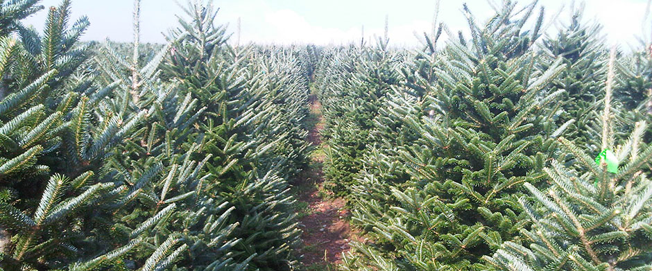 North Carolina Fraser Fir